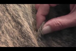 Zeckenkopf stecken geblieben beim Hund - das können Sie tun
