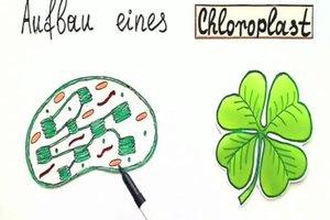 Funktion vom Chloroplast leicht erklärt