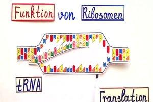 Ribosomen - die Funktion für Laien einfach erklärt