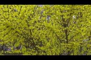 Forsythie vermehren - so geht's mit Stecklingen