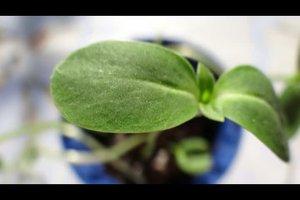 Unterschied einkeimblättrige und zweikeimblättrige Pflanzen - so beschreiben Sie ihn