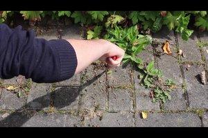 Unkraut zwischen Pflastersteinen entfernen - so geht's