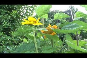 Sonnenblume pflanzen - so gelingt die Aufzucht aus einem Sonnenblumenkern