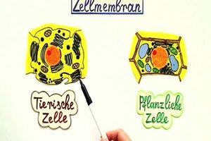 Die Funktion der Zellmembran – leicht erklärt