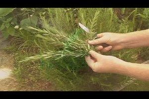 Rosmarin vermehren - so geht's