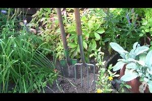 Pfingstrosen umpflanzen - das sollten Sie beachten