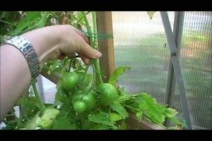 Grüne Tomaten einlegen - zwei Rezepte