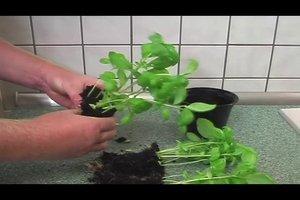 Basilikum vermehren - so gelingt's