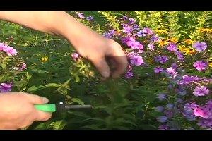 Phlox schneiden nach der Blüte - so gehen Sie vor