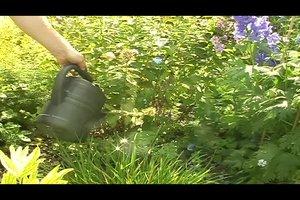 Phlox-Pflanze richtig pflegen