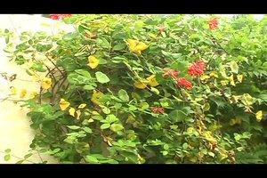 Jelängerjelieber Pflanze - so pflegen Sie das Geißblatt richtig