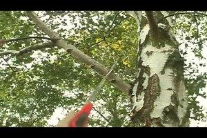 Birke schneiden - das sollten Sie beachten