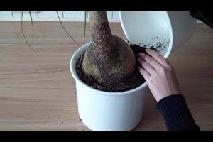 Elefantenfuß - die Pflanze richtig umtopfen