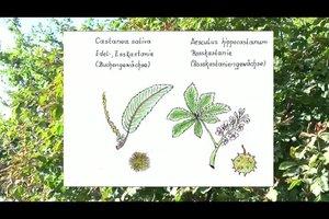Kastanienbaum: Steckbrief des beliebten Buchengewächses