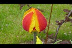 Tulpen setzen - so gelingt's