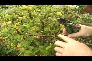 Johannisbeeren vermehren - so gelingt es