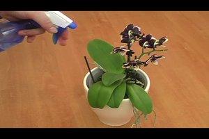 Wollläuse an Orchideen - so werden Sie die Schädlinge wieder los