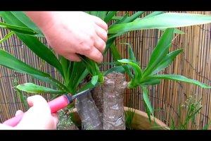 Palmen schneiden - so pflegen Sie sie richtig