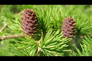 Welcher Nadelbaum verliert im Winter seine Nadeln?