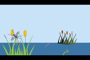 Mücken - Lebensdauer und Entwicklung
