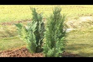Koniferen pflanzen - so gelingt's
