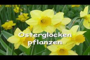Osterglocken pflanzen - so geht's