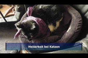 Heiserkeit bei Katzen – so lindern Sie die Beschwerden