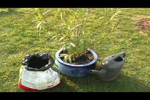 Oleander umtopfen - was Sie dabei beachten sollten