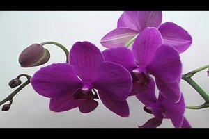 Orchideen-Krankheiten: klebrige Blätter - was tun?
