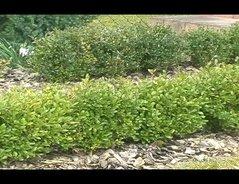 Wann Schneidet Man Hortensien Zurück : video wann schneidet man einen buchsbaum eine pflegeanleitung ~ A.2002-acura-tl-radio.info Haus und Dekorationen