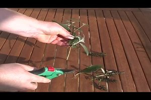 Sommerflieder vermehren - so macht man es richtig