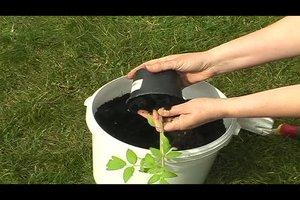 Tomaten im Topf pflanzen - so geht's