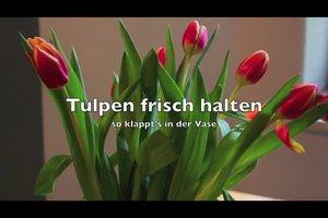 Tulpen frisch halten - so klappt's in der Vase