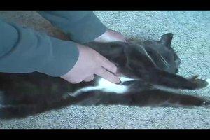 Herzschlag der Katze - Wissenswertes und Messungsmethoden