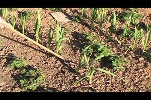 Knoblauch stecken - wann und wie leicht erklärt