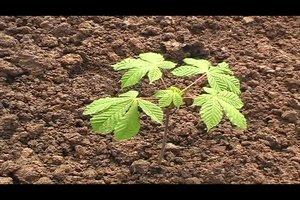 Kastanien pflanzen - Anleitung
