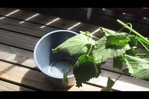 Schwarze Blattläuse bekämpfen - so sind Sie erfolgreich