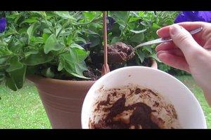 Blattläuse an Petunien - so werden Sie die Schädlinge wieder los