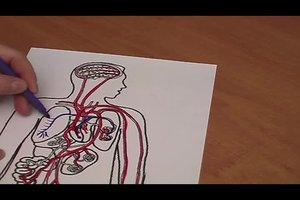 Blutkreislauf des Menschen - so lernen Sie ihn