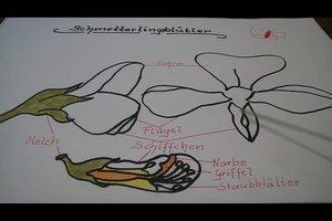 Erkennungsmerkmale der Schmetterlingsblütengewächse - so erkennen Sie die Blumen