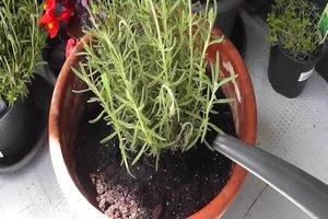 Lavendel gießen - wie oft sollten Sie die Pflanze wässern?