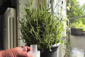 Lavendel in der Wohnung halten - Pflegehinweise