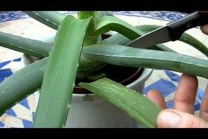 Aloe Vera - Ableger ziehen