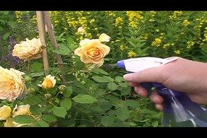 Rosen - Läuse mit Spülmittel bekämpfen