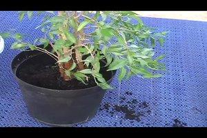 Ficus benjamini umtopfen- so geht's