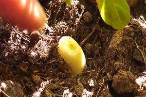 Knoblauch gegen Blattläuse richtig anwenden