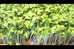 Anleitung - Kresse anpflanzen