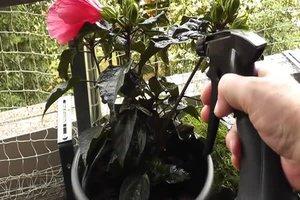 Seifenlauge gegen Blattläuse richtig anwenden