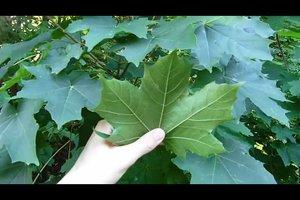 Blätterbestimmung - so klappt's im Wald