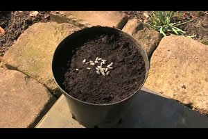 Sonnenblumen pflanzen und ernten - so geht´s